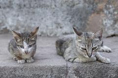 2018/07/05 17h16 chats du Chellah (Rabat) (Valéry Hugotte) Tags: 24105 chella chellah maroc rabat canon canon5d canon5dmarkiv cat chat chaton gatos katze kitten ruines salé rabatsalékénitra ma