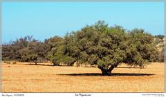 Les Arganiers (MarcEnGalerie) Tags: vacances maroc argan voyage arganier arganiaspinosa morocco arbre mejji essaouira mar
