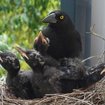 Busy Currawong chicks thumbnail