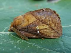Szomjas pohók (Euthrix potatoria) hím - Drinker male - Grasglucke Männchen (baloghdia1985) Tags: euthrix moth lasiocampidae