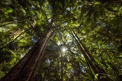 deep in the woods (Rafael Zenon Wagner) Tags: palmen bäume ultraweitwinkel grün regenwald nikon d810 mount tamborine queensland australia palm trees ultrawideangle green rainforest 12mm laowa12mmf28zerod