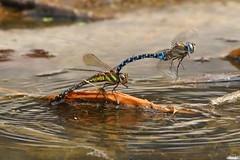 IMG_6726b (niek haak) Tags: dragonfly dragonflies odonata libel aeshnamixta paardenbijter copula mating paring tandem