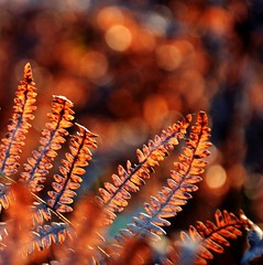 Where the Red Fern grows (barbara_donders) Tags: natuur nature herfst autumn fall fern varen red rood bokeh macro magisch magical beautiful mooi prachtig forest bos