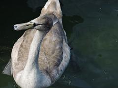 DSCN4865 (keepps) Tags: switzerland suisse schweiz vaud montreux fall autumn bird swan