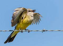 Western Kingbird (Lynn Tweedie) Tags: canon beak feathers 7dmarkii westernkingbird bird tail eye missouri eos sigma150600mmf563dgoshsm ngc animal