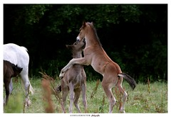 Ikito et It's Me (aurelierouyer) Tags: photographie portrait photographe amateur portraitéquin poulain foal élevagedechamplevé poney welsh welshcob welshpony àvendre canon canonphoto canoneos70d canonfrance