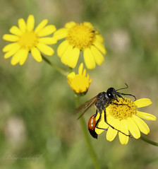 Wasp (blackcatcraft) Tags: wasp spring insect bugs macro garden