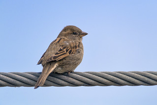 Sparrow on a cable