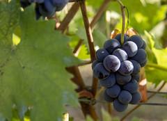 Cellerina (carlobaldino) Tags: vendemmia uva cellerina cellarengo asti pianalto astigiano grapes