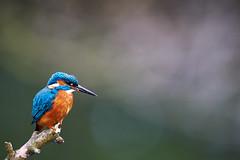 Eisvogel (generalstussner) Tags: eisvogel commonkingfisher kingfisher alcedoatthis canon natur nature wildlife naturfotografie deutschland ruhr ruhrgebiet