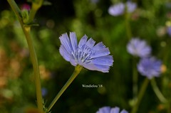 (WendieLarson) Tags: wickedhair wendielou wildflower wildflowers white wendielarson flower fleurs flowers fiori flora d7000 california color bloom blue butterflyvalley nikon nature nationalforest mountains macro landscape landscapes petals plant plants outside outdoors aperature 40mm