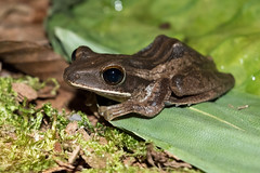 RAD_0658 (RhysSharryArchive) Tags: amphibia anura borneo chordata danumvalley fourlinedtreefrog polypedatesleucomystax rhyssharry sabah amphibian frog