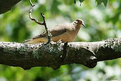 Mourning Dove (Anne Ahearne) Tags: wild bird animal nature wildlife tree bokeh dove mourningdove