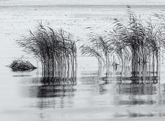 Grasses in the lake (Tim Ravenscroft) Tags: lakehjälmaren grasses water reflections sweden hasselblad hasselbladx1d monochrome blackandwhite blackwhite