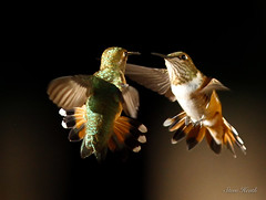 """Who are you calling ""broad-tailed?"" (rsheath76) Tags: hummingbird bird birding flight broadtailed sedona"