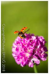 "Ladybird ( 7 - spot  )  fly away from armeria ballerina lilac  / Coccinella septempuctata (R ERTUG) Tags: nikond610fx nikon60mmf28 macro rertug ""nikonflickraward"" ertug ladybird coccinellaseptempuctata"