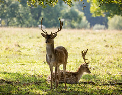 Fallow Deer (Dama dama) (Mibby23) Tags: fallow deer dama mamal animal wildlife nature charlecote park canon 5dmk4 sigma 150600mm contemporary