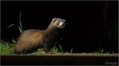 Polecat (Gertj123) Tags: animal canon sigma120300mmf28 netherlands nature night wildlife fall hide drenthe predator mammals