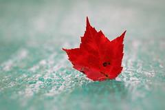 Air Canada Graphics (Bert CR) Tags: rain tarp dof depthoffield shallow wet backlight colorful fallcolors bright red mapleleaf raindrops colors autumn macro aircanadagraphics