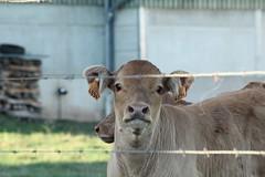 Calf (giuliastarko) Tags: calf animals nature luxembourg kalb veau animal petit klein hoftier curious curieuse neugierig portrait porträt