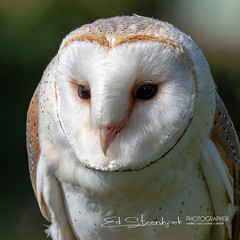Engelse Kerkuil | Tyto alba | Western barn owl (Ed Steenhoek) Tags: barnowl bird birdsofprey strigidae trueowl tyto tytoalba westernbarnowl