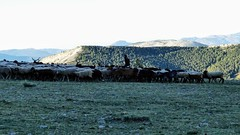 Contre-jour (François Magne) Tags: berger bergère pastoraloup brebis alpage estive transhumance loup couchade paysage alpes provence chien protection fz 300 lumix contre jour troupeau