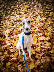 Ozzy (bbartlomiej) Tags: dog autumn leaf leaves micro fourthirds m43 mft u43 whippet sighthound poland warsaw orange outdoor panasonic gx8 2017 pet