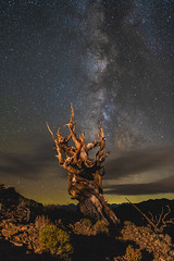I have loved the stars too fondly to be fearful of the night… (ferpectshotz) Tags: bristleconepine pinuslongaeva tree milkyway easternsierra sierranevadamountains whitemountains inyonationalforest old stars newmoon schulmangrove methuselah california