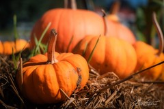 Pumpkin chase! (corineouellet) Tags: halloween focus zoom exposition composition canonphoto canoncanada canon colorsplash nature harvest pumpkin citrouille
