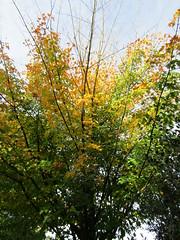 Acer pseudoplatanus (wallygrom) Tags: england westsussex haywardsheath handcross nymans nymansgarden nt nationaltrust
