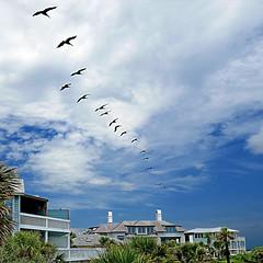 Tybee Island Beach, Georgia, USA (pom'.) Tags: panasonicdmctz101 july 2018 america northamerica usa unitedstatesofamerica georgia savannah tybeeisland tybeeislandbeach birds pelicans 100 200 300 americanwayoflife
