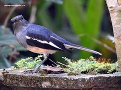 DSCN4439 Oriental Magpie Robin-male (Copsychus saularis) (vlupadya) Tags: greatnature animal aves fauna indianbirds oriental magpie robin ciosychus male kundapura karnataka
