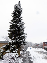 Spruce in snow (cats_in_blue) Tags: tree snow winter gran picea spruce