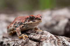 Red-Spotted Toad (Anaxyrus punctatus) Explored. (Chad M. Lane) Tags: wildlife wildlifephotography wild water explore exploring explorer travel usa outdoors animals amphibians animal arizona sb800 d810 fieldherping fullframe flashphotography flash fx greatoutdoors herps herping hiking herpetology beautiful nikon nature nikond810 naturephotography macro micro santacruzcounty redspottedtoad toad tamron