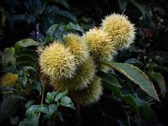 ora saranno gìà nel piatto ! (fotomie2009) Tags: autumn autunno automne castagna riccio fruit frutto chestnut spiny cupule spinoso green spine
