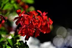 red flowers (sabinakurt_photo) Tags: flower redflower pelagonia flora beautiful flowerphotography nikon bokeh artphotography strasbourg france europa summer2018 travel sabinakurtphotography photopassion holidayphoto