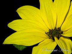 Sonnenblümchen - Nachzügler (susheinz) Tags: sonnenblume makro blume sunflower flower