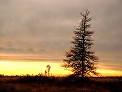 Tamarack at sunset (Orion 2) Tags: sunset tamarack tall showy newfoundlandandlabrador canada bog muskeg dusk peatbog fromthearchives