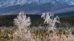 Frost Filigree (Katy on the Tundra) Tags: frost freezingfog