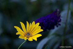 Sonnenhut / Echinacea (peterkaroblis) Tags: garten garden blume flower makro pflanze sonnenhut echinaceaparadoxa