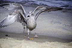 Let` s fly (kobianda) Tags: letsfly sea seagulls movement motion bird couple water animal sand