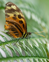 Butterfly up close - Numata longwing (billcoo) Tags: 6d2 6dii 2 insect bokeh heliconius numata