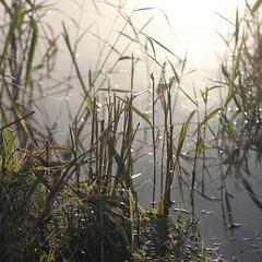 Spider silk (decemberGirl.) Tags: morning water lake grass sunlight spiderweb spidersilk dew bokeh nature 50mm square