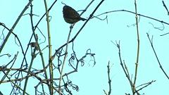 Female Purple Finch_2530.mp4 (Henryr10) Tags: ottoarmlederpark hamiltoncountyparkdistrict cincinnati ottoarmledermemorialpark armlederpark littlemiamiriver greatparksofhamiltoncounty usa haemorhouspurpureus haemorhous purplefinch finch avian bird pufi vogel ibon oiseau pasare fågel uccello tékklistar