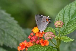 Female Gray Hairstreak Butterfly