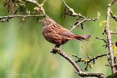 Brandon Aug 29th-7267-Edit-Edit (ChellePullen) Tags: bird birds brandonmarsh brandonnaturereserve dunnock michellepullen nature wildlife