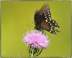 Black Swallowtail (RKop) Tags: butterflies insects raphaelkopanphotography drnormanandmarthaadairwildlifemanagementarea kentucky