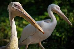 rc_wildlife_16 (R.C. Reshel) Tags: wildlife animals tiere aquarium bauernhof ozean säugetiere vögel insekten schmetterlinge fische pelikane rosapelikane