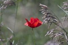 PoppyIMGP2548a Tair 11a (horschte68) Tags: poppy mohnblume grün green weeds nature landschaft landscape summerfeeling sommer pentaxk50 tair11a135mmf28 tair11a135mmf56 manualfocus primelens red rot manuallens m42 20blades