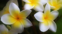 Plumeria / Frangipani (endresárvári) Tags: plumeria frangipani tenerife nature yellow yellowwhite yellowflower